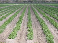 crops, farm, cabbage, rows, country