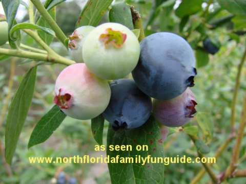 Yancy's Blueberry Farm, Silver Springs, Florida